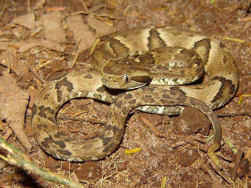 В Бразилии обнаружили змею с исцеляющим от коронавируса ядом